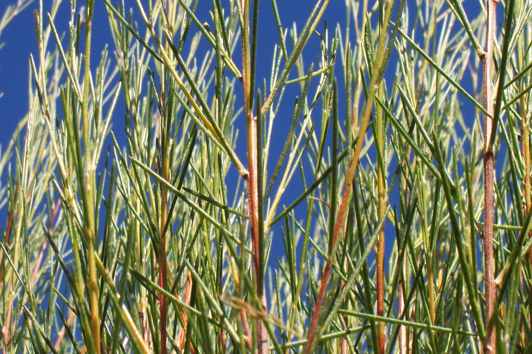 Le rooibos plante d'Afrique du sud sans théine - vert ...